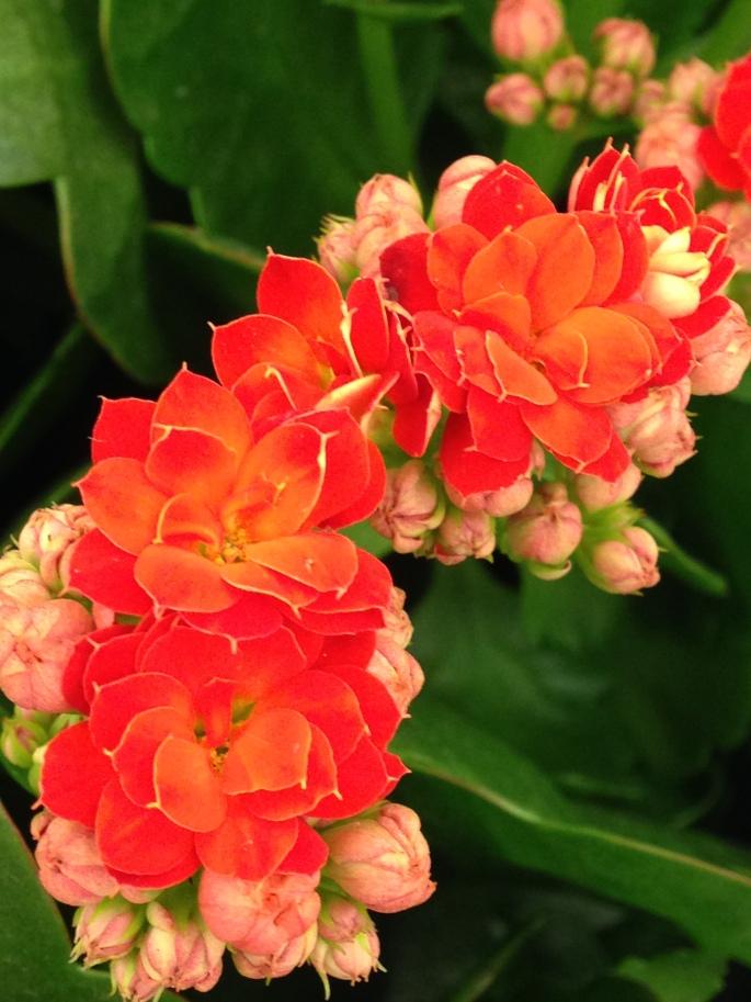 orangeflower-c.sosa
